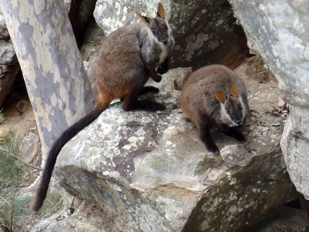 Brush-tailed rock-wallabies