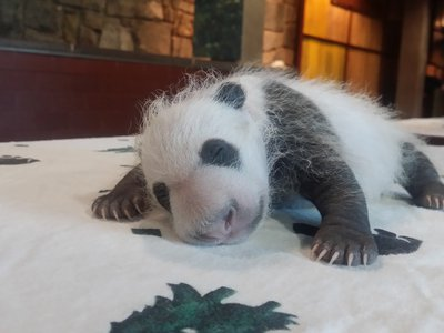 Keepers weighed the panda cub Sept. 14, when Mei Xiang left her den. He weighed 1.9 pounds.