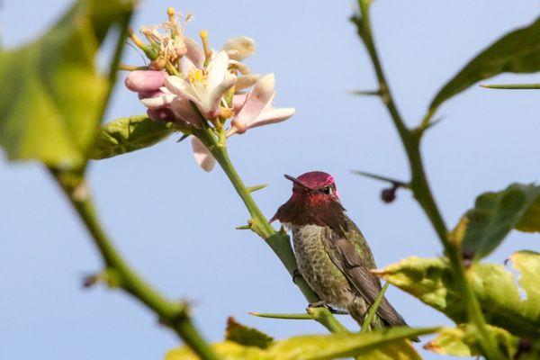 Anna's Hummingbird thumbnail