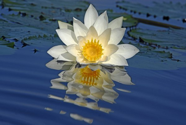 WATER LILY WITH REFLECTION ON WAVES thumbnail