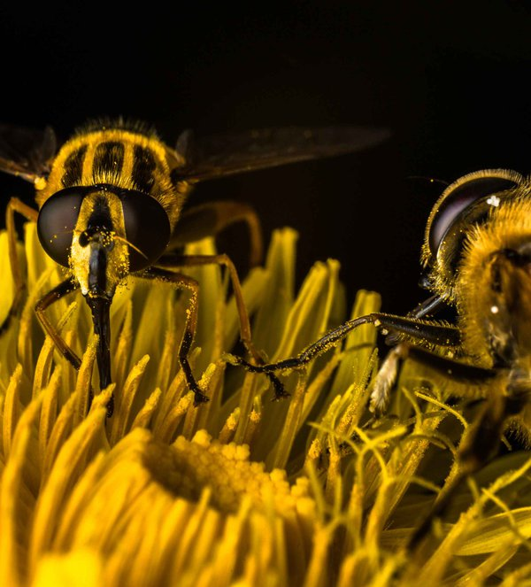 Marsh Tiger Hoverflies dine on dandelion.  thumbnail