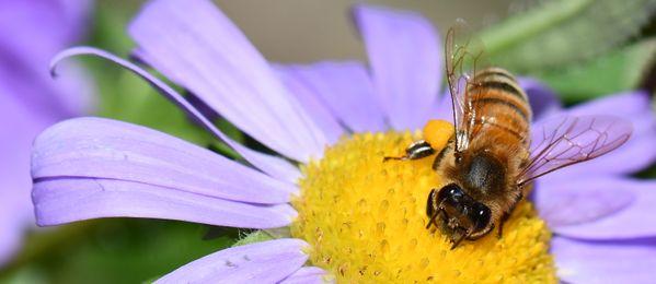 Honeybee on aster thumbnail