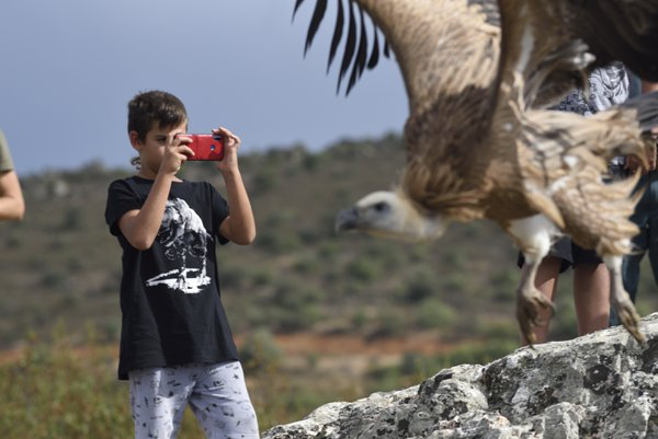Release of a griffon vulture. thumbnail