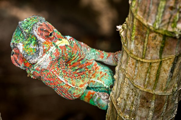 A Panther Chameleon Looking Up and Down thumbnail