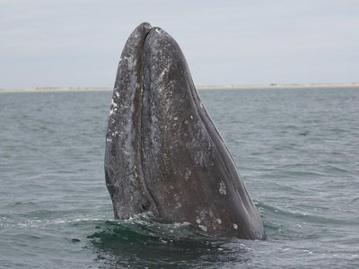 """A gray whale """"spyhopping"""" off the coast of Alaska. Gray whales migrate over 12,000 miles along North America's west coast."""