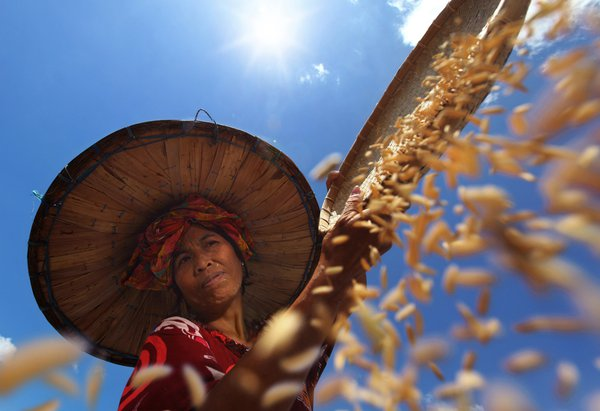 A farmer was drying rice in the hot sunlight helps drying of agricultural products,when the harvest season comes the farmers are ready to harvest results were later dried rice paddyunder the sun so th thumbnail