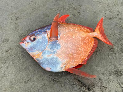 An opah or moonfish that washed up on Sunset Beach in northern Oregon on July 14.