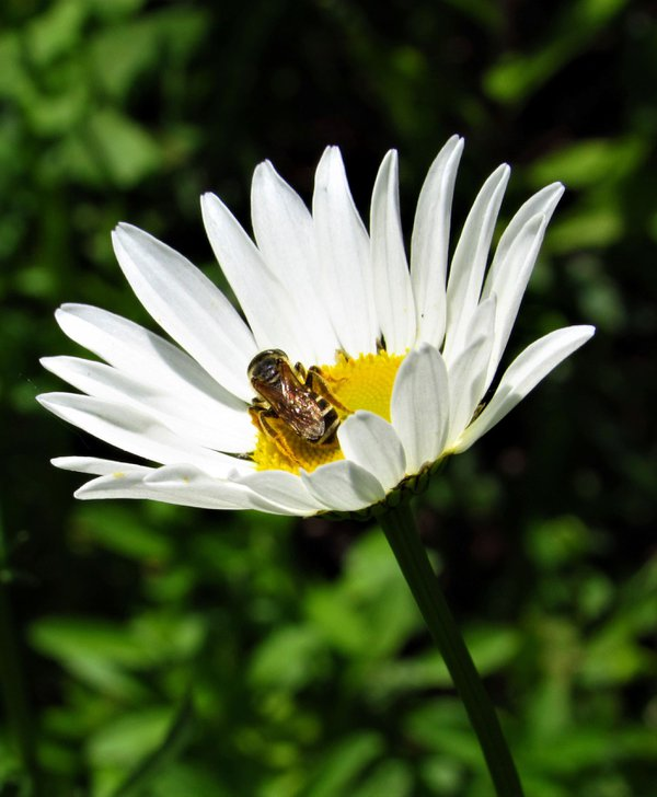 Daisy with Bee collecting pollen thumbnail