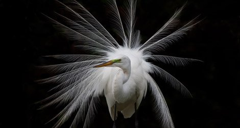 Great White Egret, by Antonio Soto, photographed March 2009, South Florida