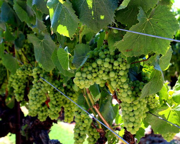 California wine grapes ripening in the sunshine thumbnail