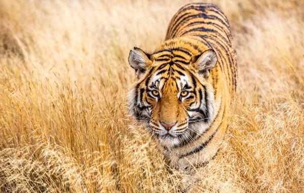 Tiger in tall grass thumbnail