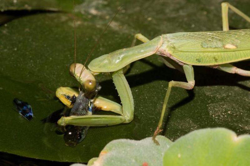 fishing-praying-mantis.jpg