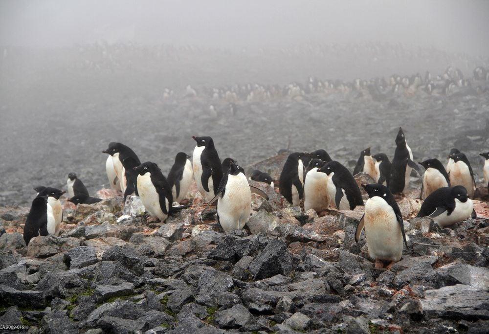 Adélie penguins on Beaufort Island