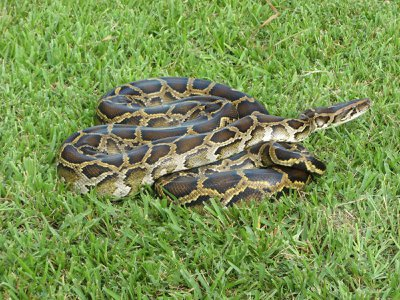A Burmese python that was captured in Florida's Everglades National Park.
