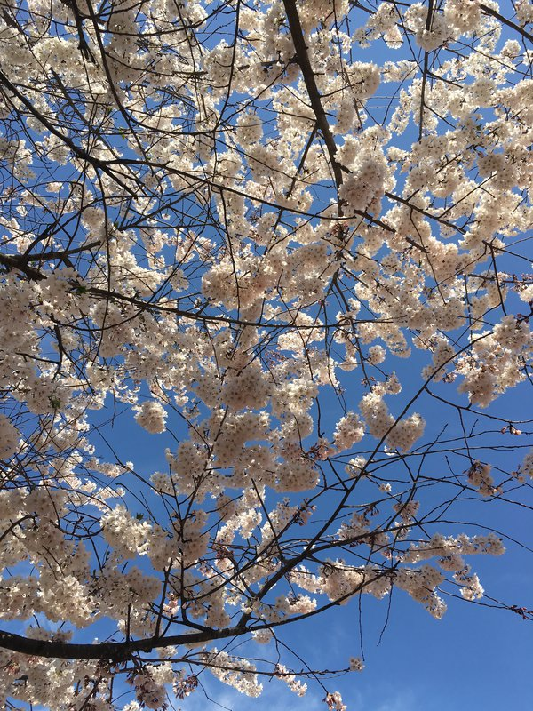 Cherry Blossoms thumbnail