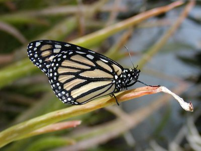 The western monarch butterfly has declined by 99.9 percent since the 1980s, according to the latest population assessment.