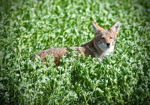 A Coyote in An Alfalfa Field thumbnail