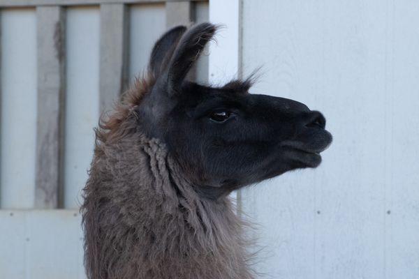 Llama Portrait 3 thumbnail