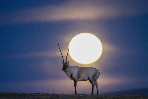 Tibetan antelope under the moon thumbnail