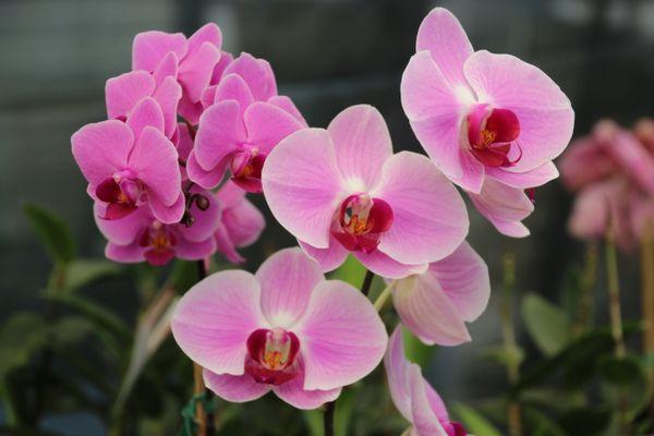 An orchid blooming in Santa Barbara, Ca. thumbnail