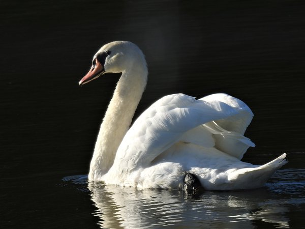 Mute swan while visiting Amish country in Ohio thumbnail