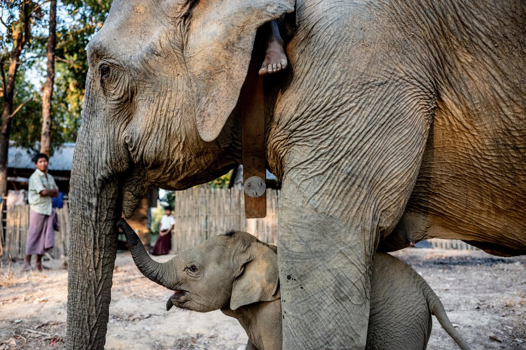 Researchers Are Learning How Asian Elephants Think—in Order to Save Them