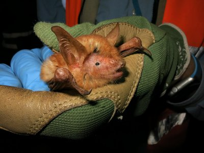 Myotis nimbaenis was named for the Nimba Mountains where it was found.