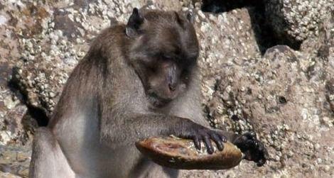 Monkey-stone-tools-470.jpg