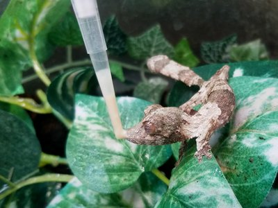 This leaf-tailed gecko hatchling receives his medication from a syringe, which he laps up with his impressive tongue.