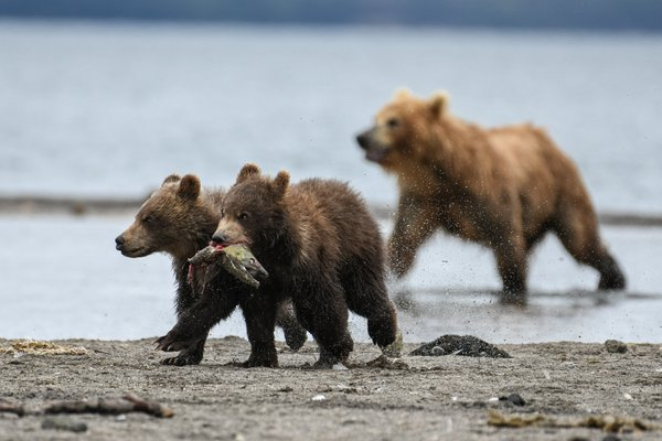 Brown bear cubs escaping with loot thumbnail