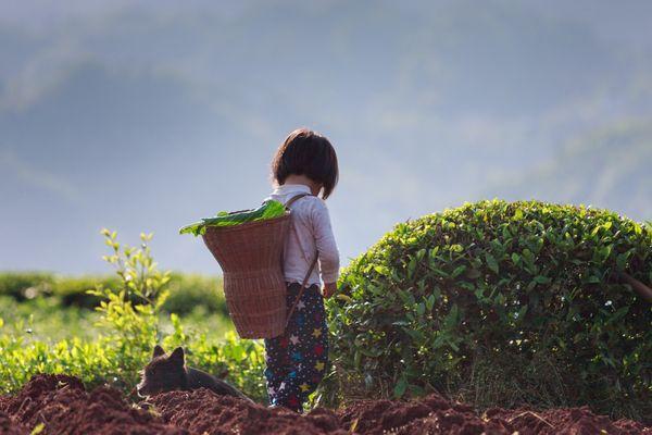The picking tea girl thumbnail