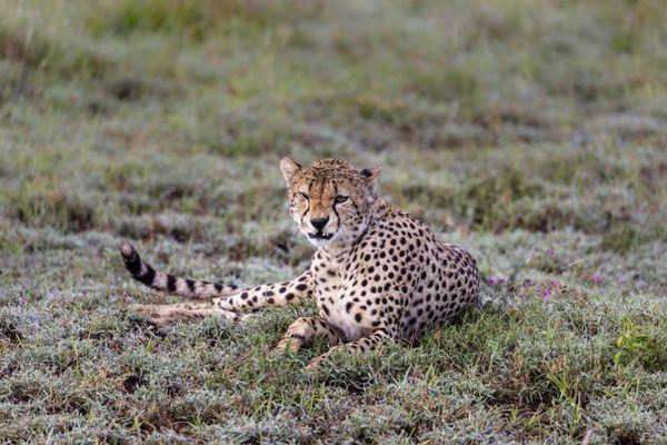 Dewey Cheetah thumbnail