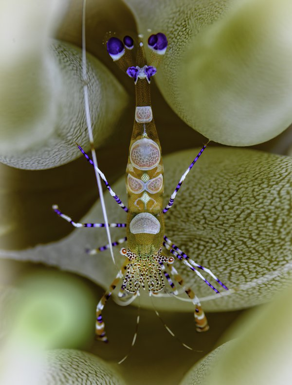 A small cleaner shrimp in an anemone in St. Croix. thumbnail