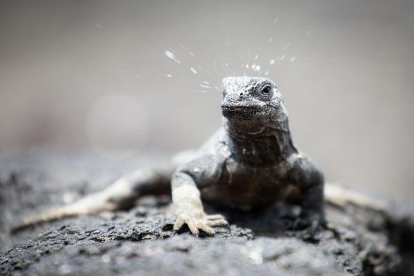 A young marine iguana sneezing thumbnail