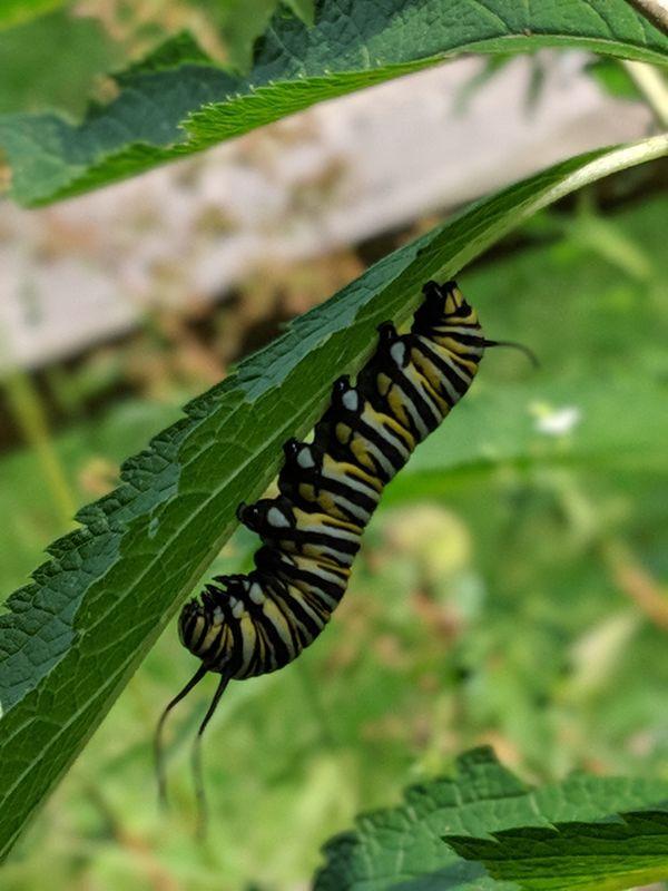 A monarch caterpillar thumbnail
