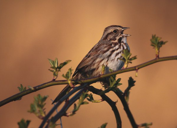 A song sparrow singing for a mate during spring.