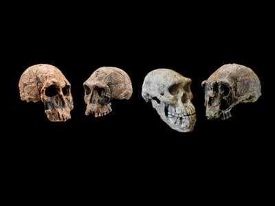 Skulls of the genus Homo, including two from Homo erectus on the right