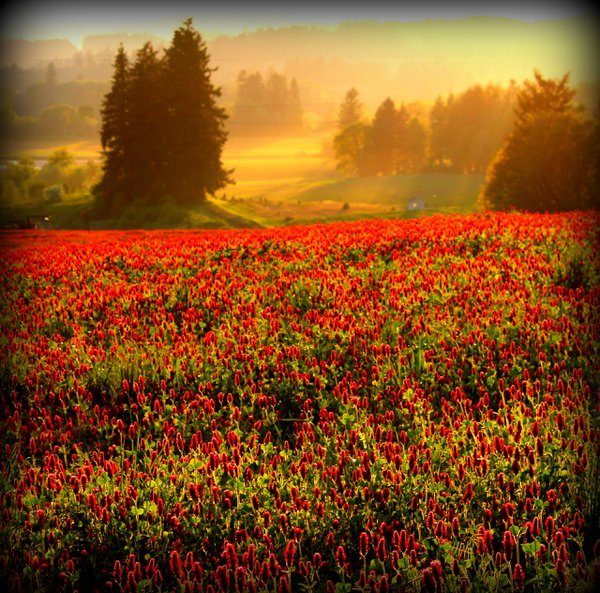 Crimson clover field at sunset  thumbnail