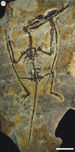 20110520083152darwinopterus-skeleton.jpg