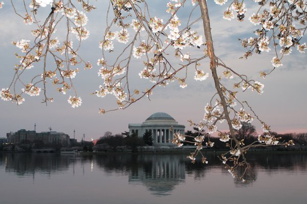 The Jefferson Memorial during cherry blossom week thumbnail