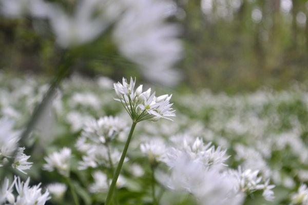 Wild garlic flowers thumbnail