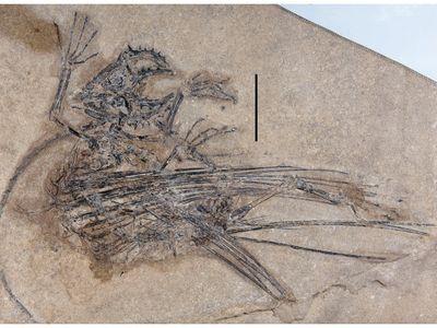 Fossilized weigeltisaurid skeleton on beige background