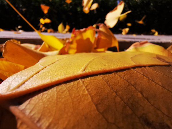 Yellow leaves in the wind thumbnail