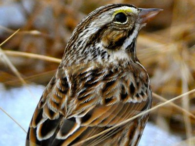 A Savannah sparrow stands on a patch of melting snow in a warm-season grass field in Virginia.