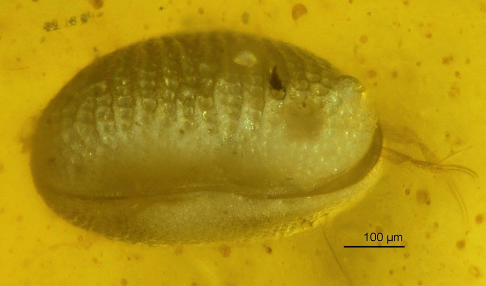 Scientists Discover Oldest Sperm Yet Preserved in Amber