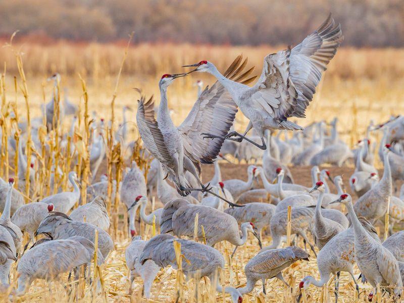Sandhill Cranes Arguing