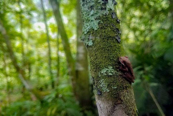 Mountain dark frog Ptychohyla zophodes thumbnail