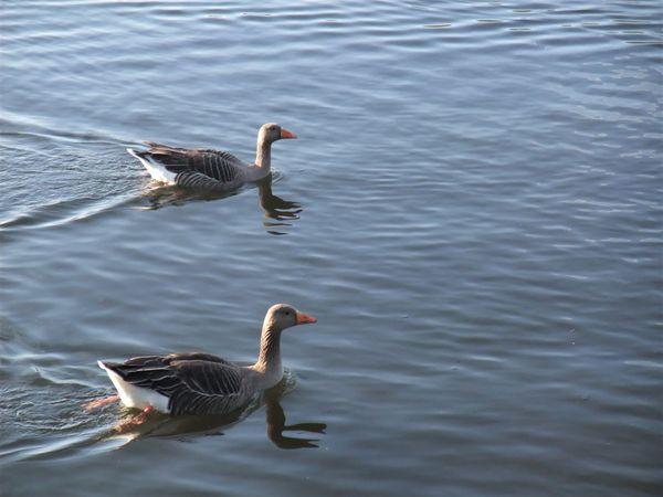 Two grey ducks in a race! thumbnail