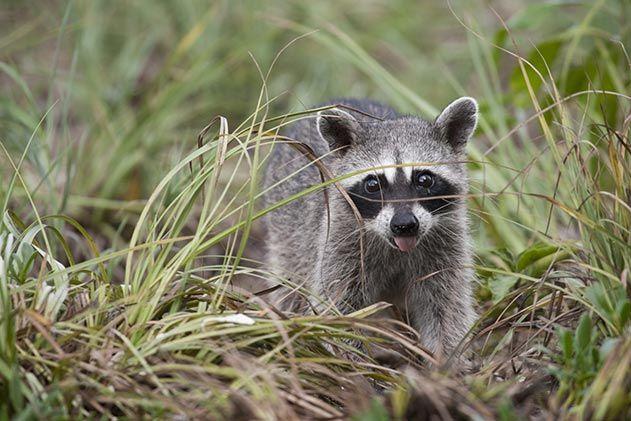 Pygmy raccoon