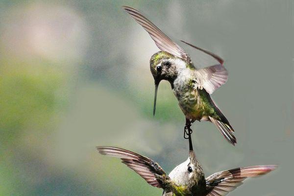 I've got your beak. thumbnail